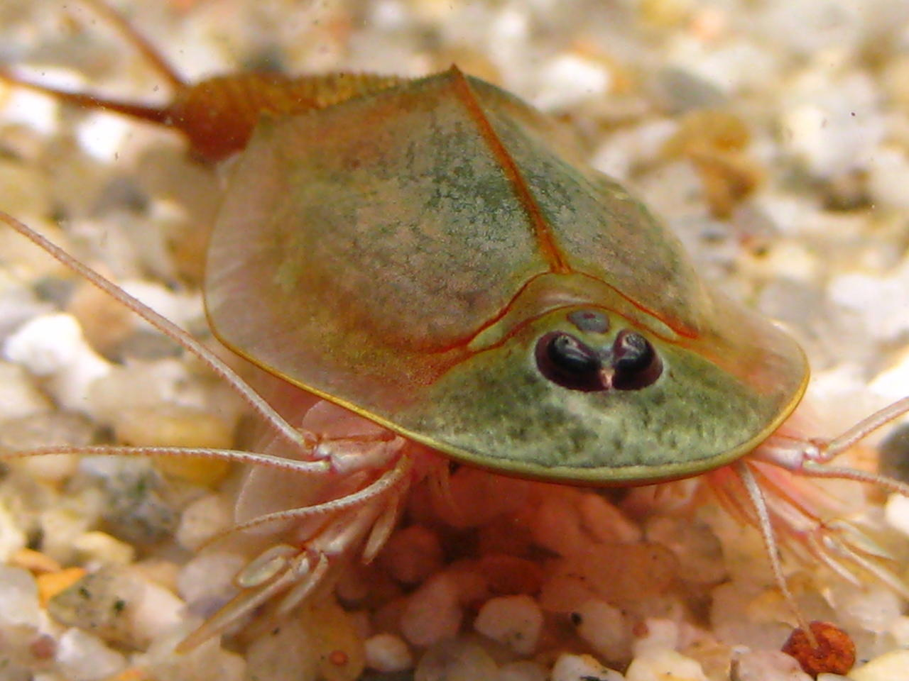 This Triops Is In A Way Cleaner Bowl Than Ours