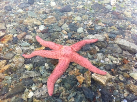 Starfish like this one are common in the waters around Vancouver.