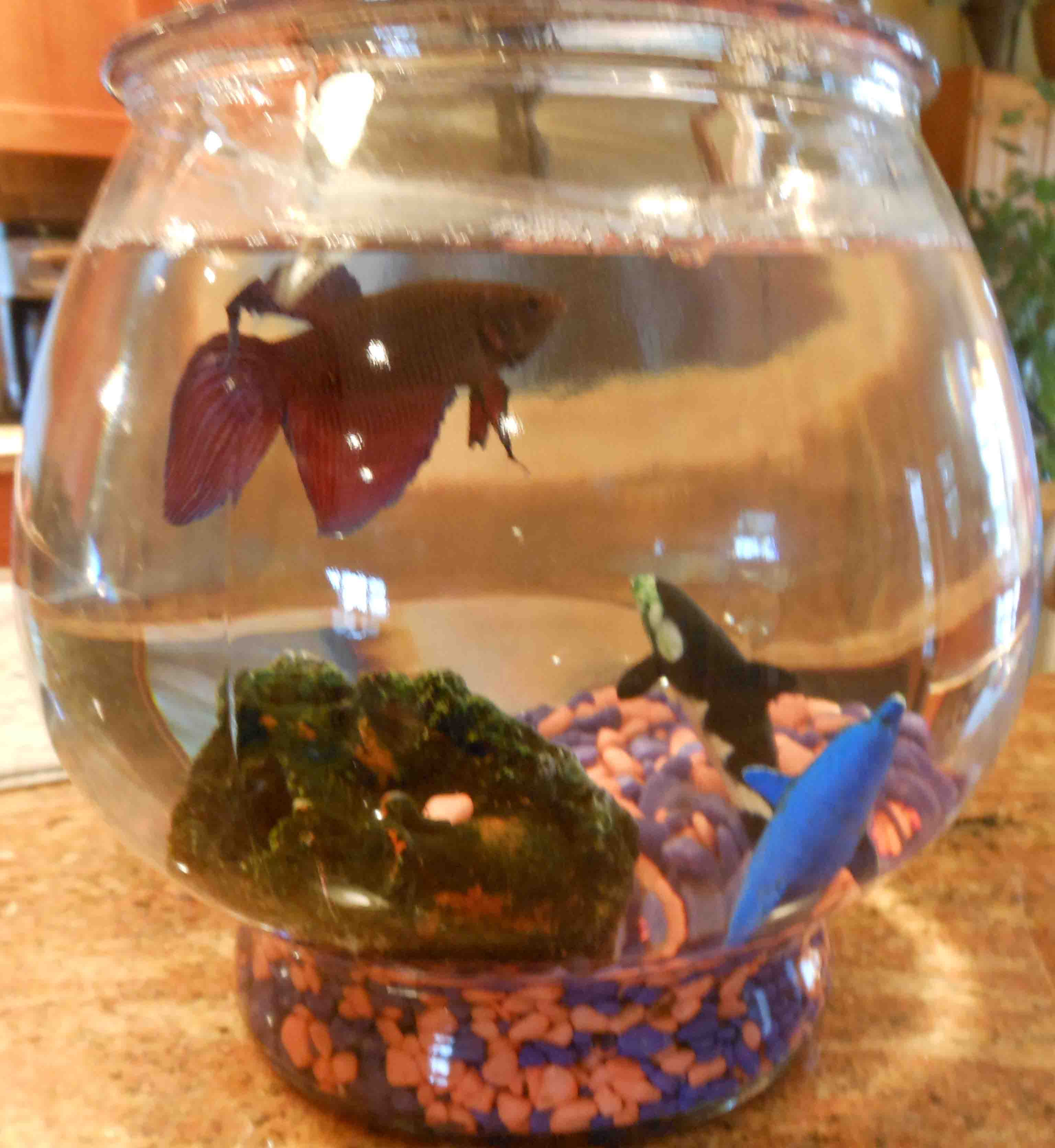 Potpourri drink play love page 2 for Betta fish life expectancy