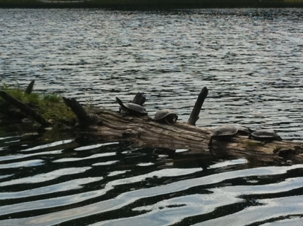 Five Western Painted turtles sun themselves atop a log at Hidden Lake near Fernie, B.C.