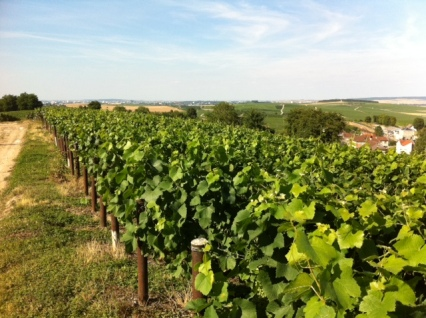 These grapes in France's Champagne region will one day be champagne.