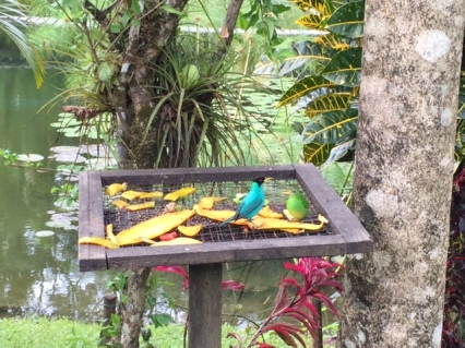 A turquoise bird and a green bird dig in to the papaya rinds. Photo by Lisa Kadane.