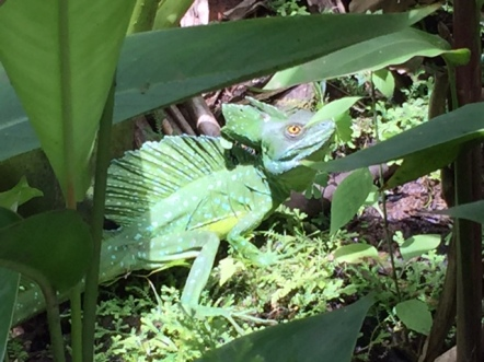 Critters love Tabacon too. Avery was reptile hunter and found this basilisk (they can run atop water for short distances. How cool is that?). Photo by Lisa Kadane.