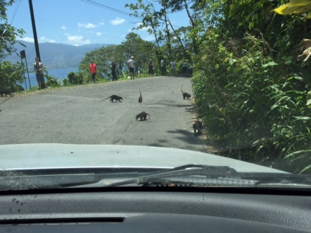 Costa Ricas answer to Canada's roadside mountain sheep: coatimundis, which are racoon-like scavengers.