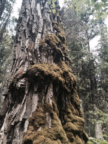 This cottonwood tree is so old moss is growing on it.