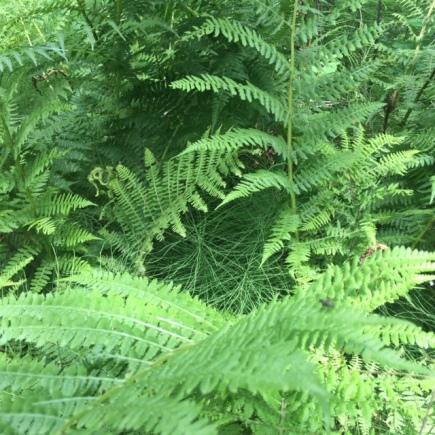 Ferns in Fernie, B.C.