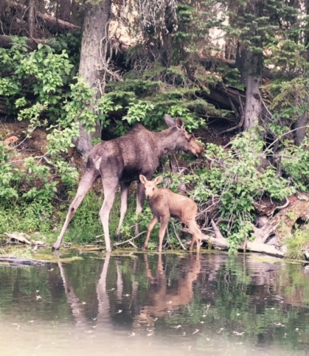 A mother moose grazes while her calf eyes us up at Island Lake near Fernie, B.C.