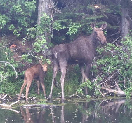 Mama and baby moose pause to glance at our approaching canoe.