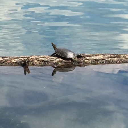 It's easy to spot Western Painted turtles at Surveyor's Lake.