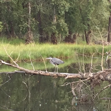 This is why they call it a bird sanctuary -- a great blue heron rests atop a fallen tree.