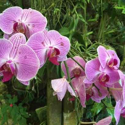 The Botanical Gardens at Caves Branch boasts the largest orchid collection in Belize.