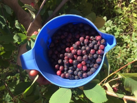 We filled up this pitcher with Saskatoon berries in no time!