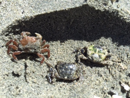 Three tiny shore crabs at Rathtrevor Beach Provincial Park.
