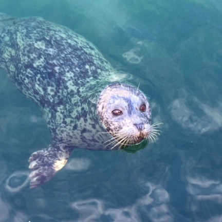 This adorable and very well fed harbour seal appreciated his 10th lunch of the day!