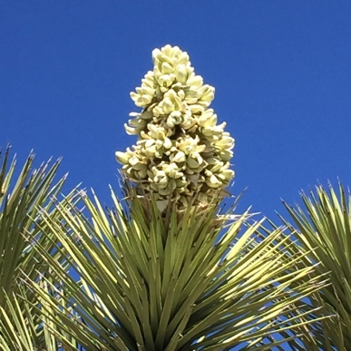 If you visit the park in late-February/early-March, you'll see the Joshua trees in full bloom.